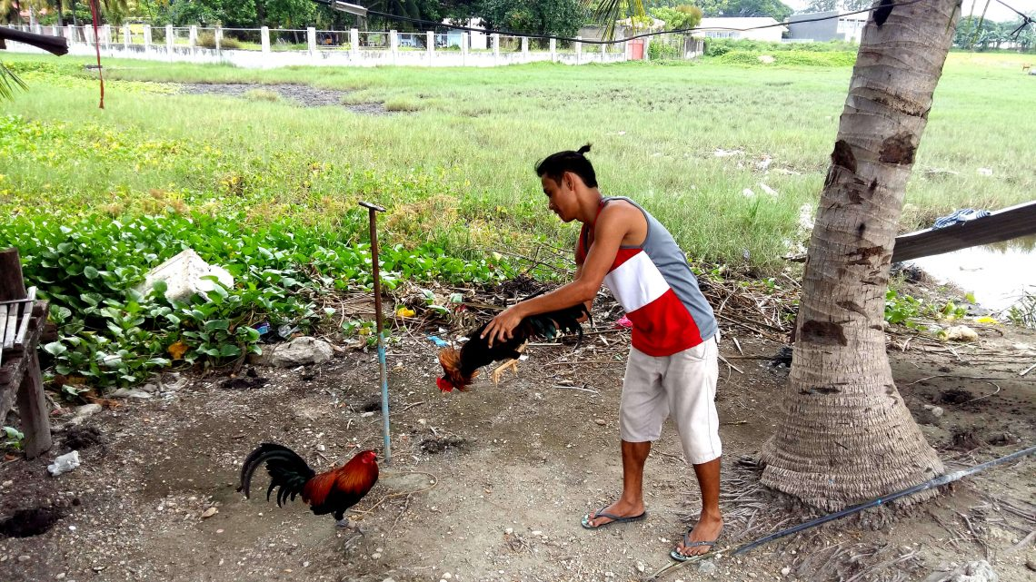 gallos de pelea en la isla de cebu