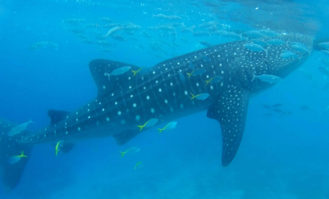 tiburon ballena en oslob cebu