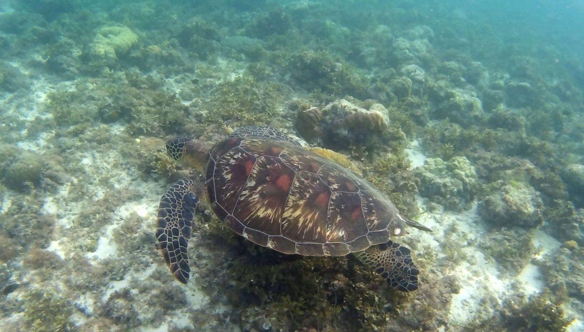 tortugas en moalboal esnorquel